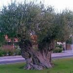 Olivos Monumentales
