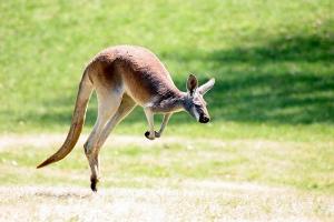 Уникальные, забавные и необычные сумчатые животные Австралии