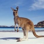 сумчатые австралии