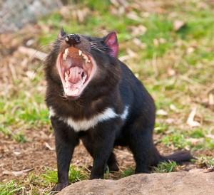 сумчатый тасманийский дьявол