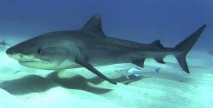 Тигровая акула в Красном море