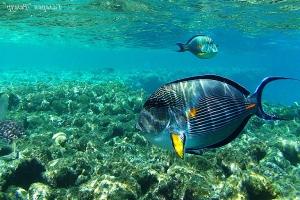 Рыба хирург - Красное море