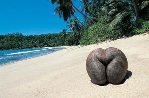 Сейшельский кокос