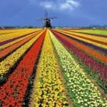 Апрель. Голландия. Тюльпаны.